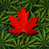 AMHO statement on cannabis legislation
